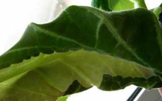 Чому у глоксинії скручуються листя: причини і методи вирішення проблеми, відео
