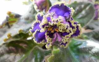 Проблеми при вирощуванні фіалок, мало квітів, відео