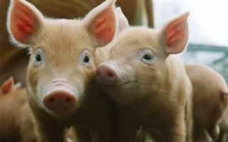 Комбікорм для свиней — склад, ціна, скільки з'їдає комбікорму свиня в день, відео