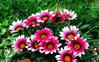 Гацанія — африканська ромашка, вирощування з насіння, фото квітів. Коли садити розсаду