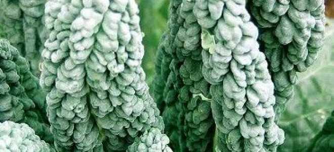Капуста Кале: корисні властивості, вирощування, як готувати