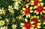 Кореопсис багаторічний, мутовчатий, великоквіткова, лацентовідний, посадка і догляд, відео