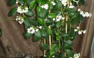 Жасмин мадагаскарський — кімнатна рослина, особливості вирощування, догляд, відео