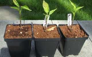Чому скручуються листя розсади? Причини і методи боротьби