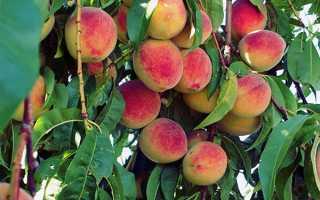 Персик — правила догляду восени, навесні, захист від хвороб, відео