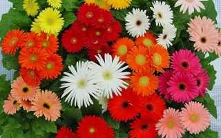 Гербери садові та кімнатні — посадка і догляд в домашніх умовах вирощування з насіння, відео