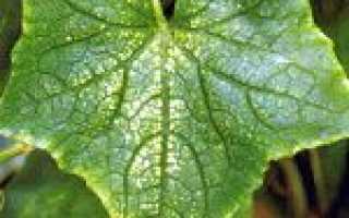 Павутинний кліщ на огірках: як боротися і позбутися