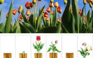 Тюльпани цикли розвитку і особливості догляду за рослинами від посадки цибулини, отримання пишних бутонів, догляду після цвітіння