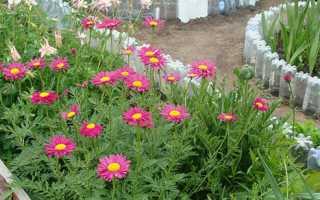 Вирощування пиретрума з насіння — посадка і догляд, відео