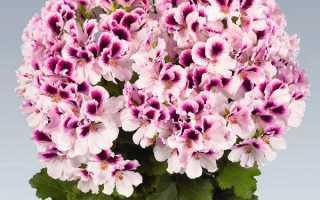 Королівська пеларгонія — особливості догляду для пишного цвітіння, відео