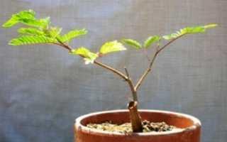 Розмноження акації живцями стебловими і кореневими, відео