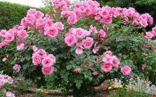 Плетиста троянда посадка і догляд — відео