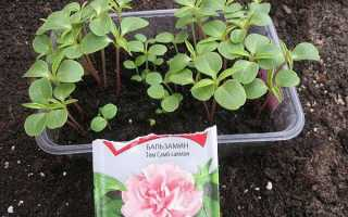 Бальзамін — вирощування розсади з насіння, строки пересадки, відео