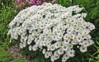 Ромаша садові ромен — посадка і догляд, де і коли садити, відео
