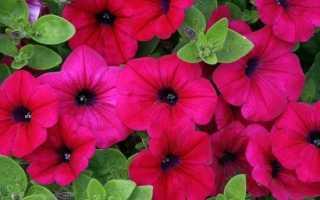 Петунія. Опис і догляд за квіткою петунія