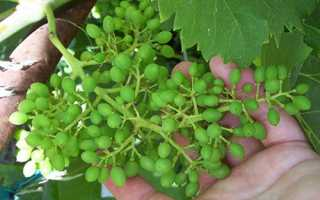 Горошеніе винограду, способи вирішення проблеми, відео