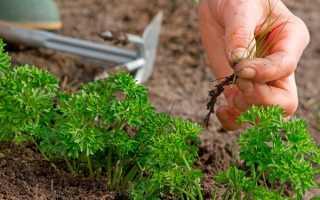 Петрушка — як і коли сіяти насіння, підготовка грядки, відео