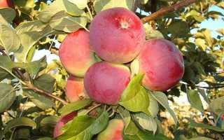 Яблуня Орлик — опис сорту, посадка і догляд, обрізка, полив, відео