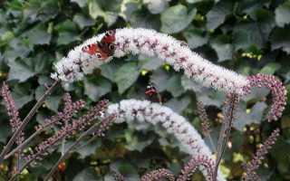 Клопогон трава — корисні властивості, застосування в медицині, відео