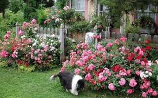 Квітучі все літо почвопокривні троянди, відео