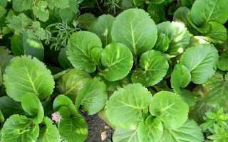 Чому не цвіте бадан, особливості вирощування, відео