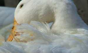 Хвороби качок — падають на ноги, вищипують пір'я, симптоми і лікування, відео
