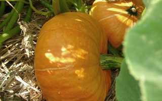 Вирощування гарбуза у відкритому грунті в Підмосков'ї, як садити на розсаду, догляд, коли дозріває, відео