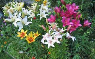 Лілії — посадка і догляд в саду, все про лілеї, види і сорти, відео