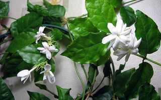 Жасмин Самбак — фото рослини, догляд в домашніх умовах, що робити коли не цвіте, відео