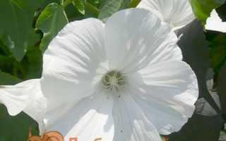 Лаватера — вирощування з насіння, коли садити. Види і сорти, фото. Посадка і догляд у відкритому грунті