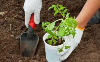 Як садити помідори у відкритий грунт правильно за місячним календарем, відео