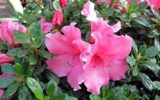 Азалія квітка. Вирощування азалії. Догляд за азалій