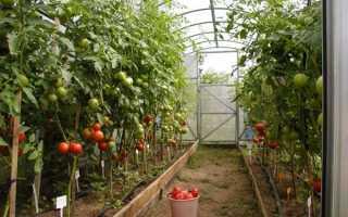 Як доглядати за помідорами в теплиці — правила, поради, відео