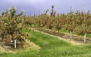 Шкідники груші на листках — боротьба з попелиць, листовійкою, довгоносиком, галловим кліщем, відео