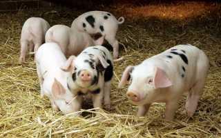 Свинячий гній як добриво — використання, утилізація, відео
