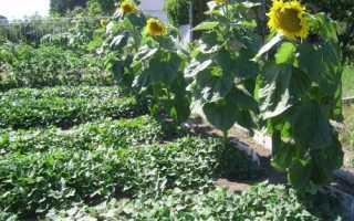 Як виростити соняшник, де і як садити, як доглядати, відео