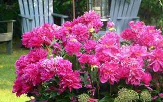 Як і чим підживити півонії весною 2019 для пишного цвітіння: добрива, строки і правила |