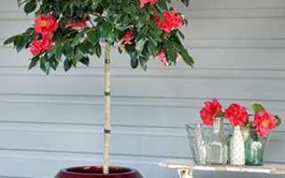 Камелія кімнатна квітка — догляд, вирощування та утримання в домашніх умовах, фото, відео