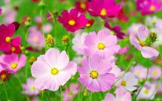 Космея — фото квітів махрові, дваждиперістие, Шоколадній, Чорної, Сєрно-жовтої, помаранчевої космеи, відео