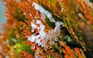 Туя пожовкла після зими — що робити, як допомогти рослині, відео