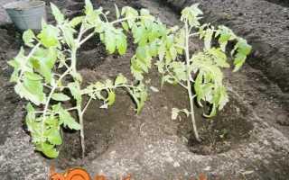 Як висаджувати яка переросла розсаду помідорів