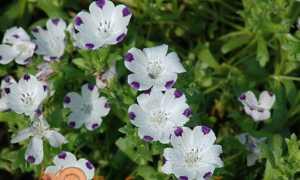 Немофіла — вирощування з насіння, коли садити. Види і сорти з фото. Посадка і догляд у відкритому грунті