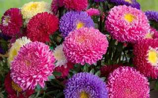 Сорти однорічних айстр — карликові, високорослі, крупноцветковие, піоновідние, голчасті, відео