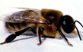 Трутні в бджолиної сім'ї — навіщо потрібні, коли з'являються, відео