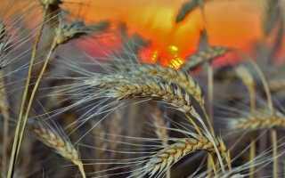 Вирощування жита — терміни посіву, догляд, збирання врожаю, відео