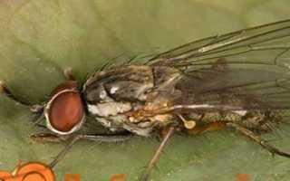 Цибулева муха на грядці — як з нею боротися народними методами і хімією