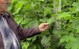 Догляд за виноградом після цвітіння, види робіт, відео