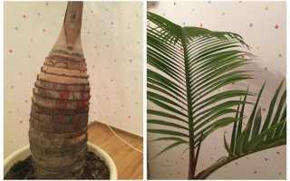 Гіофорба — справжня пляшкова пальма. Догляд в домашніх умовах. фото