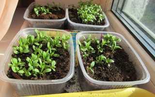 Посів насіння гвоздики — коли і як правильно висівати, відео