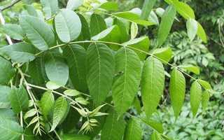Листя волоського горіха — корисні властивості і протипоказання до застосування. при захворюваннях, відео